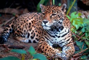 Jaguar is communally self-sufficient